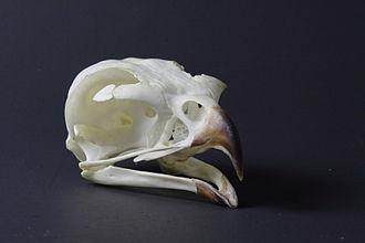 Ferruginous hawk - Skull of a ferruginous hawk