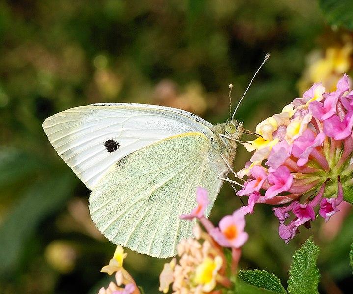 File:Butterfly October 2007-3.jpg