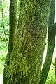 Buxus colchica kz8.jpg