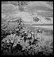 CH-NB - Persien, Elburs-Gebirge (Elburz)- Pflanzen - Annemarie Schwarzenbach - SLA-Schwarzenbach-A-5-06-216.jpg
