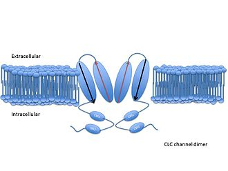 Chloride channel - A cartoon representation of a CLC chloride channel. The arrows indicate the orientation of each half of the individual subunit. Each CLC channel is formed from two monomers, each monomer containing the antiparallel transmembrane domain. Each monomer has its own pore through which chloride and other anions may be conducted.