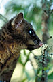 CSIRO ScienceImage 4063 Brushtail Possum Stalin Atherton QLD.jpg