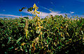 CSIRO ScienceImage 4689 Soya bean crop ColeamballyNSW.jpg