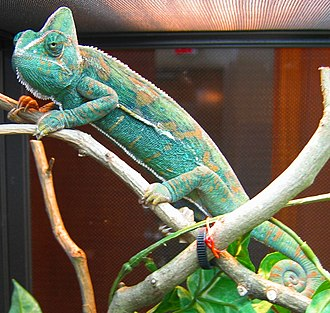 Chromatophore - A veiled chameleon, Chamaeleo calyptratus. Structural green and blue colours are generated by overlaying chromatophore types to reflect filtered light.