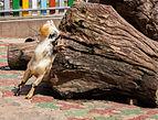 Cabra (Capra aegagrus hircus), Zoo de Ciudad Ho Chi Minh, Vietnam, 2013-08-14, DD 02.JPG