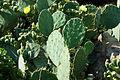 Cactus-Prickly-Pear-3901.jpg