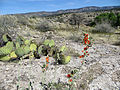 Cactus and globemallow (13741867315).jpg