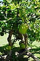 Calabash Tree in Grenada.jpg