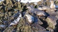 File:California sea lions conflict (70384).webm