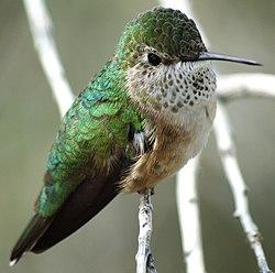 Calliope hummingbird - panoramio.jpg