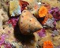 Calliostoma gloriosum.jpg