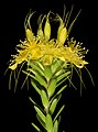 Calytrix aurea - Flickr - Kevin Thiele.jpg