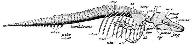 Cambridge Natural History Mammalia Fig 183.jpg