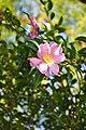 Camellia sasnqua Sasquana Camellia კამელია სასანქვა.JPG