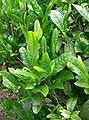 Camellia sinensis2.jpg
