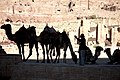 Camels in Petra, Jordan.jpg