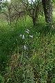 Campanula rapunculus kz04.jpg