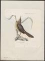 Campephaga newtonii - 1868 - Print - Iconographia Zoologica - Special Collections University of Amsterdam - UBA01 IZ16500195.tif