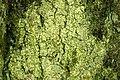 Candelariella.xanthostigma2.-.lindsey.jpg