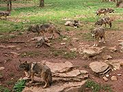 180px-Canis_lupus_meute_Gramat