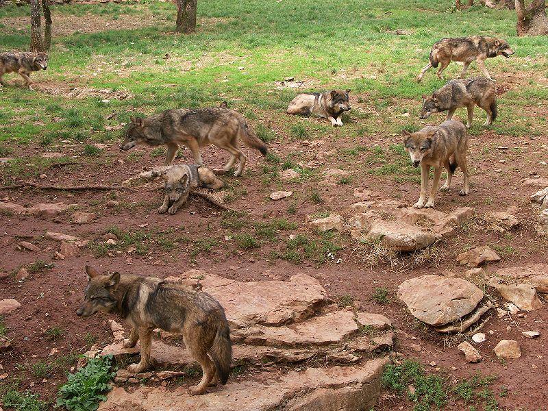 Fichier:Canis lupus meute Gramat.jpg