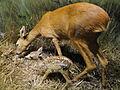 Capreolus capreolus - Finnish Museum of Natural History - DSC04563.JPG