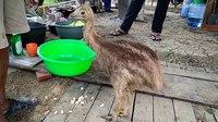 File:Captive cassowary VID20180726152134.webm
