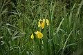 Carcassonne - Iris pseudacorus.jpg