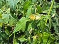 Cardiospermum halicacabum 10.JPG
