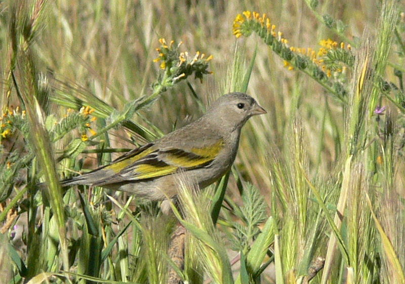 File:Carduelis lawrencei female.jpg