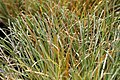 Carex albula Frosted Curls 0zz.jpg