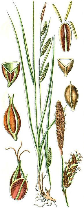 Description de l'image Carex binervis.jpg.