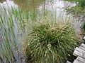 Carex paniculata plant (26).jpg