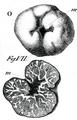 Carlo Vittadini - Tuber excavatum.png
