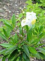 Carpenteria californica - University of California Botanical Garden - DSC09031.JPG