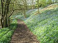 Carr Wood Bluebells - geograph.org.uk - 1020374.jpg