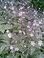 Caryophyllales - Stellaria nemorum - 5.jpg