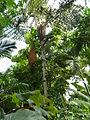 Caryota rumphiana - Fishtale Palm P1170554.JPG