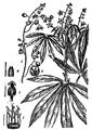 Cassava EB1911 p457.png
