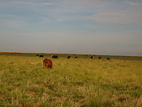 Cattle grazing between Denver City and Morton, TX Picture 1900.jpg