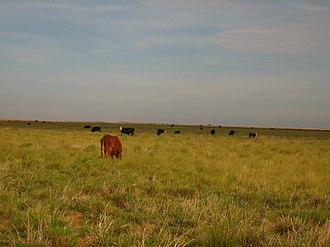 Cochran County, Texas - Image: Cattle grazing between Denver City and Morton, TX Picture 1900