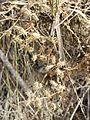 Caucalis platycarpos subsp. platycarpos sl12.jpg