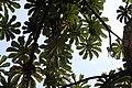 Cecropia obtusifolia 12zz.jpg