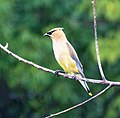 Cedar waxwing in the rain (18884423054).jpg