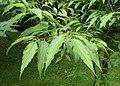 Celtis australis kz01.jpg