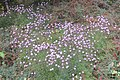 Centaurea simplicicaulis (SG) (32215405013).jpg