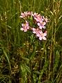 Centaurium erythraea (plant).jpg