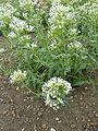 Centranthus ruber forma albus (Valerianaceae) plant.JPG