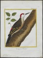 Centurus striatus - 1700-1880 - Print - Iconographia Zoologica - Special Collections University of Amsterdam - UBA01 IZ18700365.tif