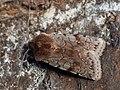 Cerastis rubricosa - Red chestnut - Весенняя совка красноватая (27207375918).jpg